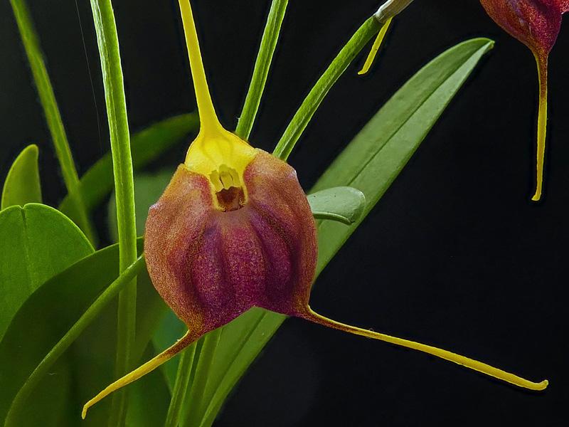 Miniatur-Orchideen Teil 6 - Seite 15 Web-an11