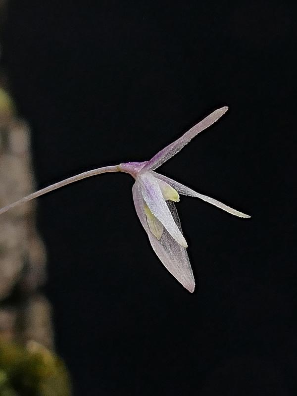 Makroaufnahmen von Miniaturorchideen - Seite 4 Web-ba10
