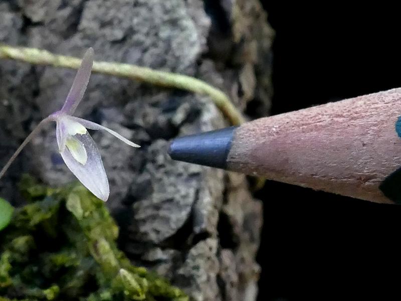 Makroaufnahmen von Miniaturorchideen - Seite 4 Web-ba11