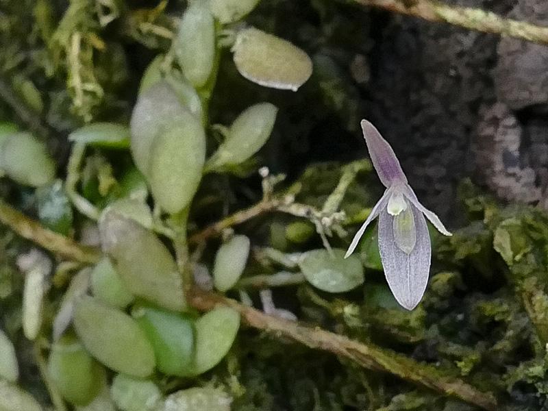 Makroaufnahmen von Miniaturorchideen - Seite 4 Web-ba12