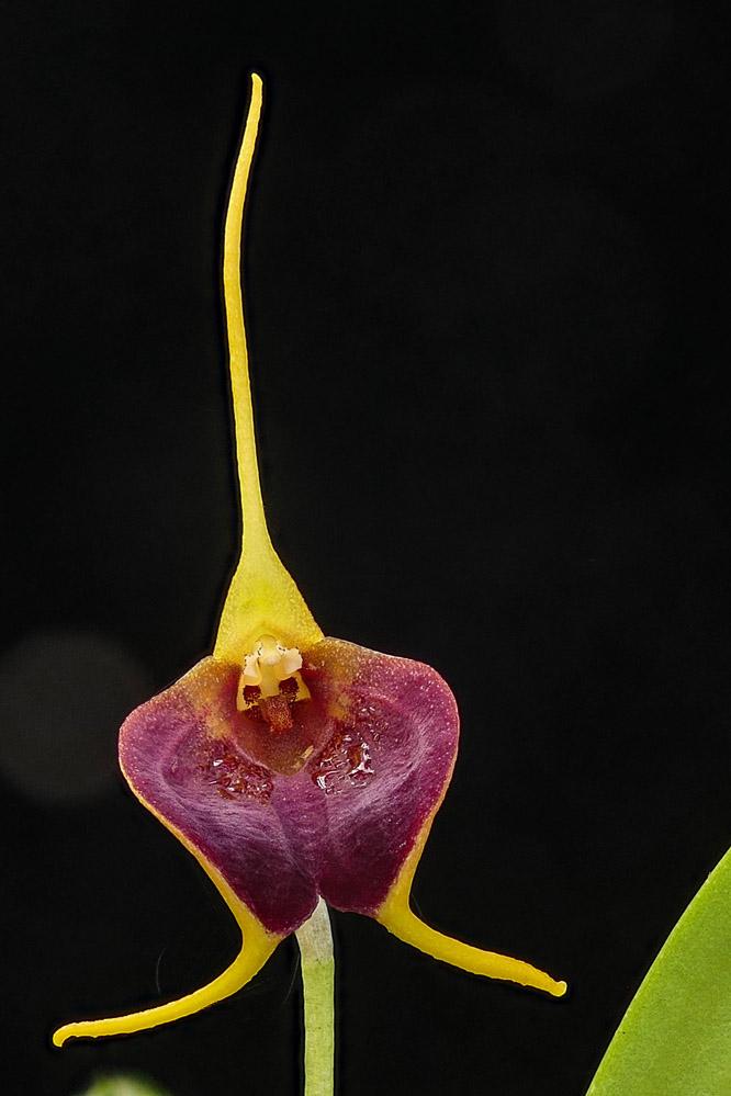 Miniatur-Orchideen Teil 6 - Seite 16 Web-bi10