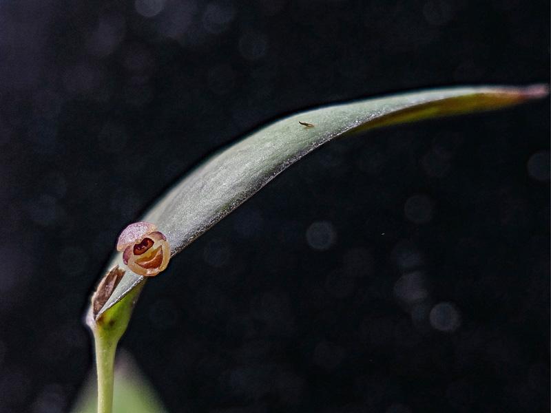 Makroaufnahmen von Miniaturorchideen Web-ca10