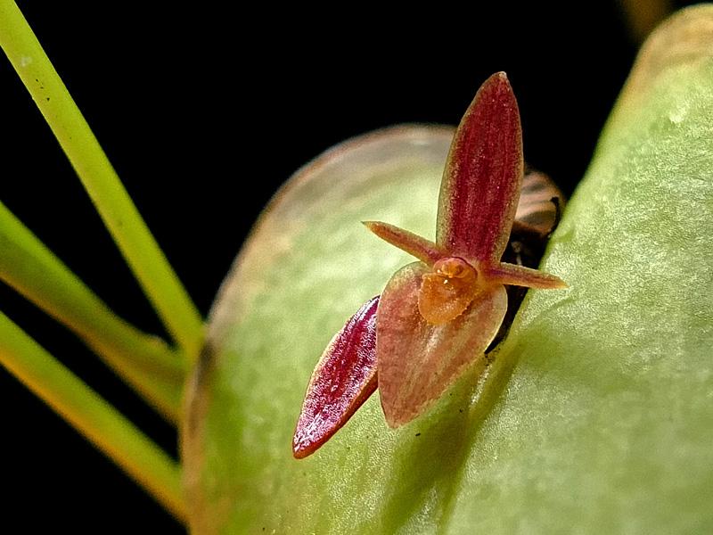 Miniatur-Orchideen Teil 6 - Seite 18 Web-co11