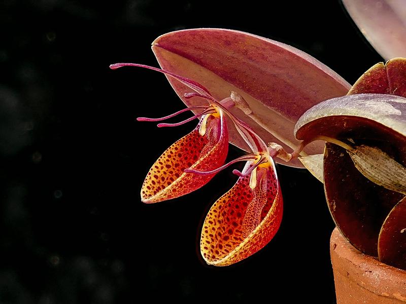 Makroaufnahmen von Miniaturorchideen - Seite 2 Web-cy10