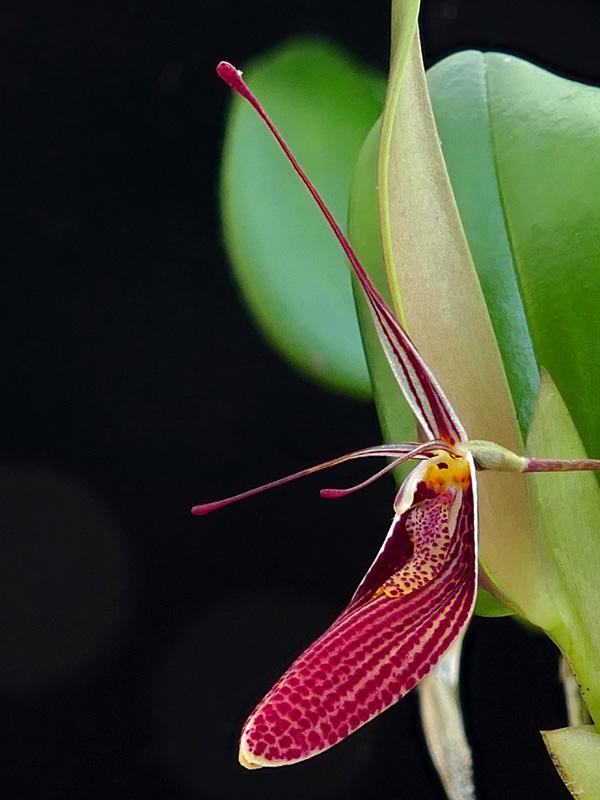 Miniatur-Orchideen Teil 6 - Seite 15 Web-ep10