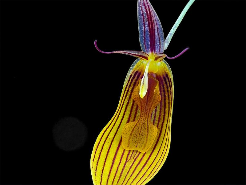 Miniatur-Orchideen Teil 6 - Seite 15 Web-fa10