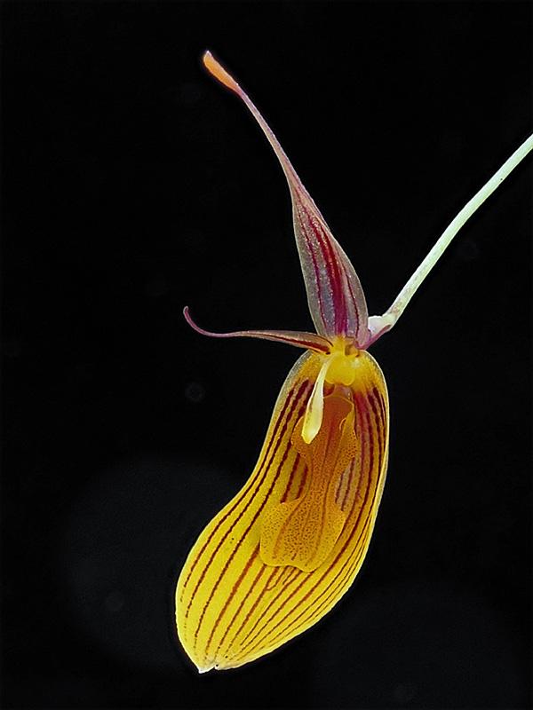Miniatur-Orchideen Teil 6 - Seite 15 Web-fa11