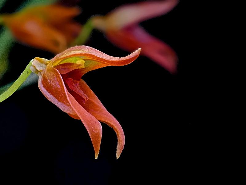 Miniatur-Orchideen Teil 6 - Seite 17 Web-fu10