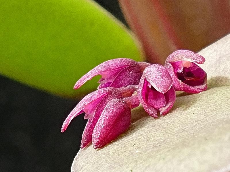 Makroaufnahmen von Miniaturorchideen - Seite 3 Web-ha11
