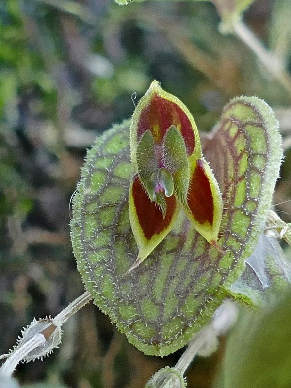 Makroaufnahmen von Miniaturorchideen - Seite 4 Web-l-10