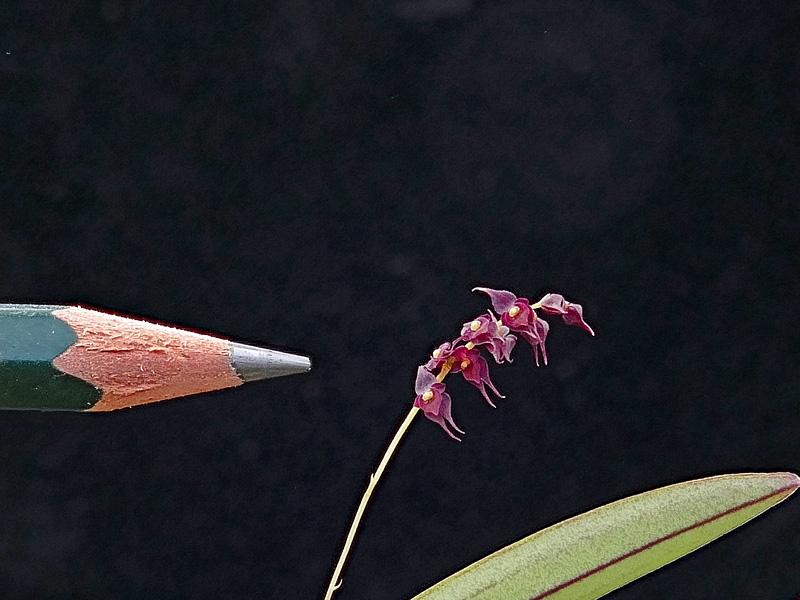 Miniatur-Orchideen Teil 6 - Seite 17 Web-le10