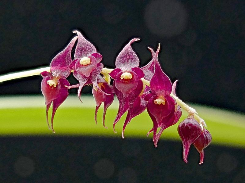 Miniatur-Orchideen Teil 6 - Seite 17 Web-le11
