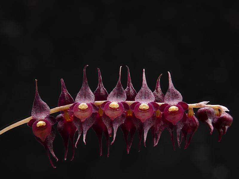 Makroaufnahmen von Miniaturorchideen Web-le14