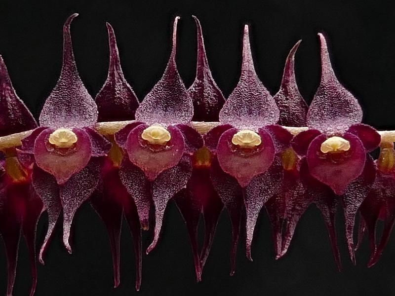 Makroaufnahmen von Miniaturorchideen Web-le15