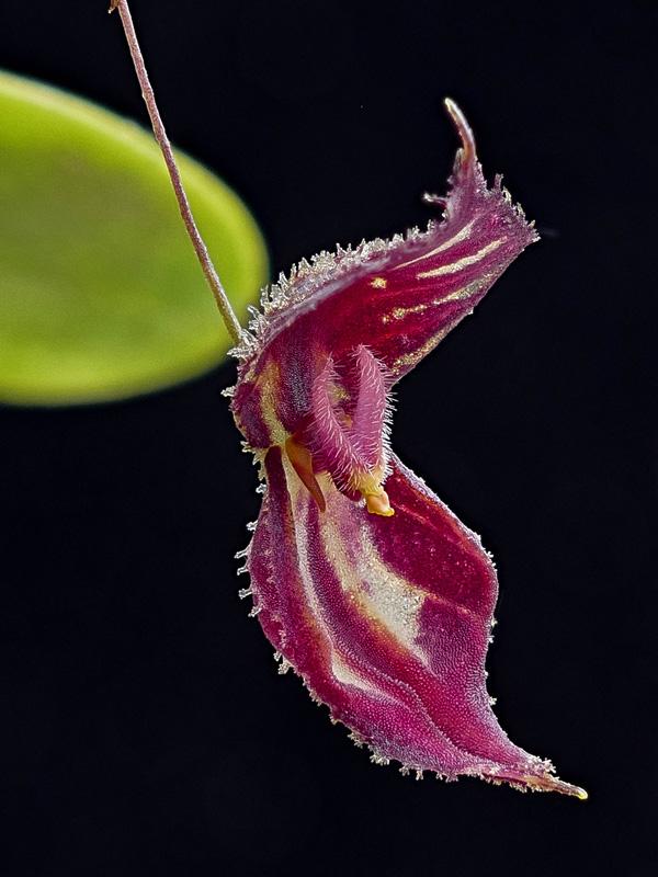 Makroaufnahmen von Miniaturorchideen - Seite 2 Web-le16