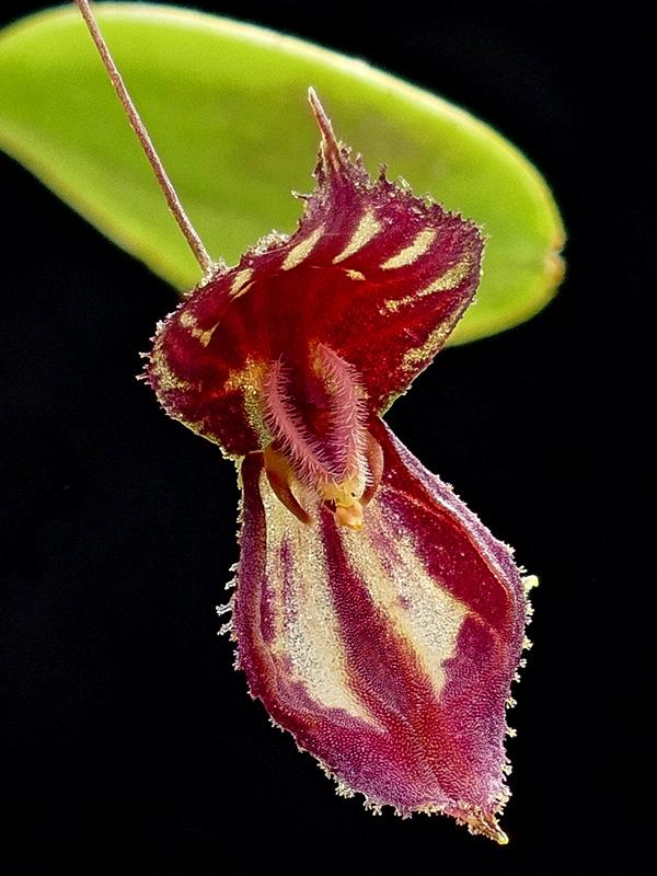 Makroaufnahmen von Miniaturorchideen - Seite 2 Web-le17