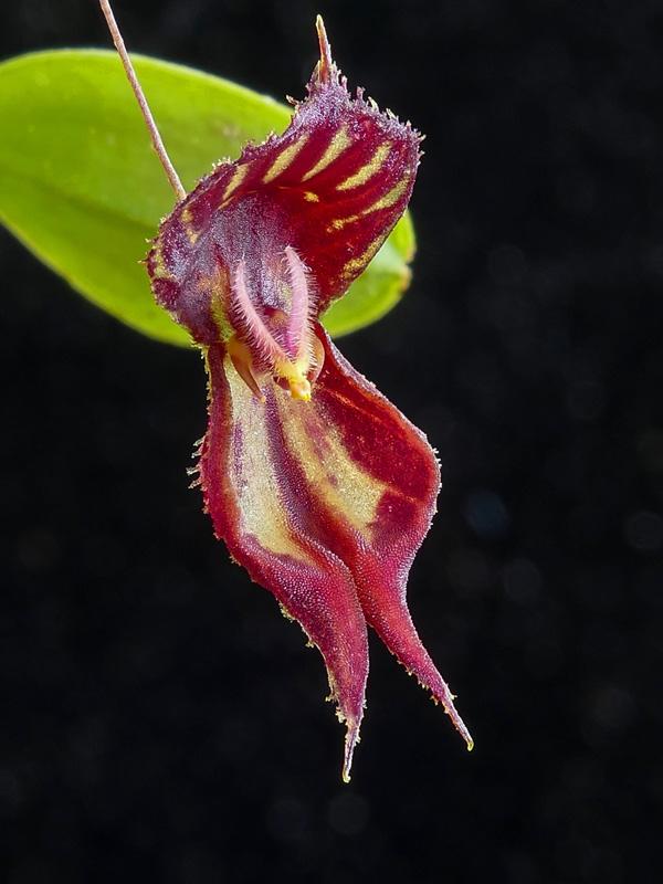 Makroaufnahmen von Miniaturorchideen - Seite 2 Web-le18
