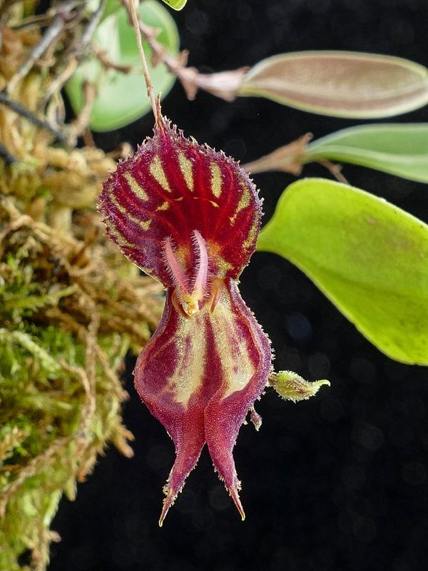 Makroaufnahmen von Miniaturorchideen - Seite 2 Web-le19