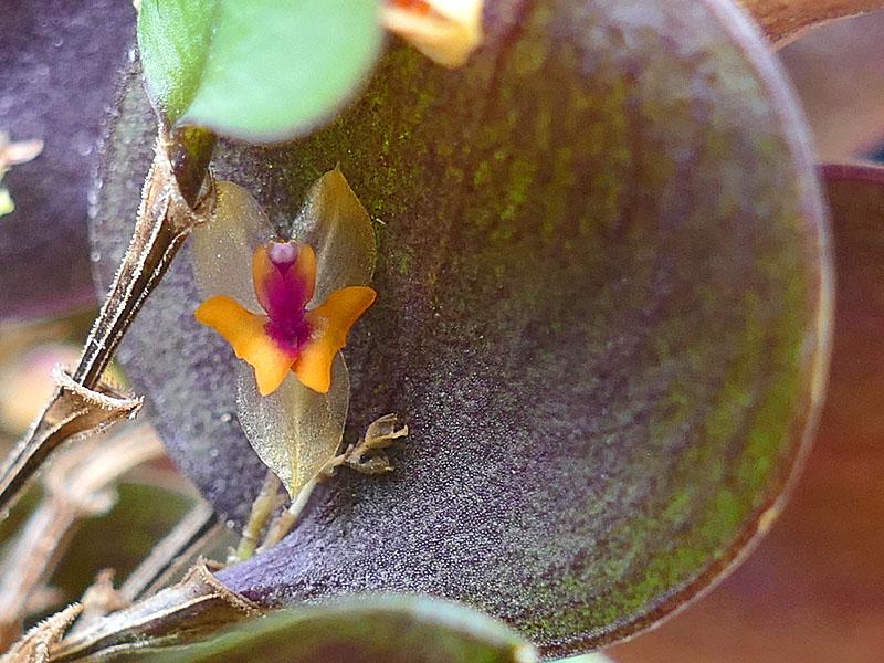Makroaufnahmen von Miniaturorchideen - Seite 2 Web-le20