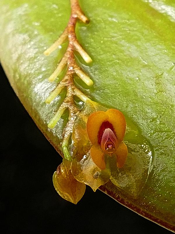 Makroaufnahmen von Miniaturorchideen - Seite 3 Web-le21
