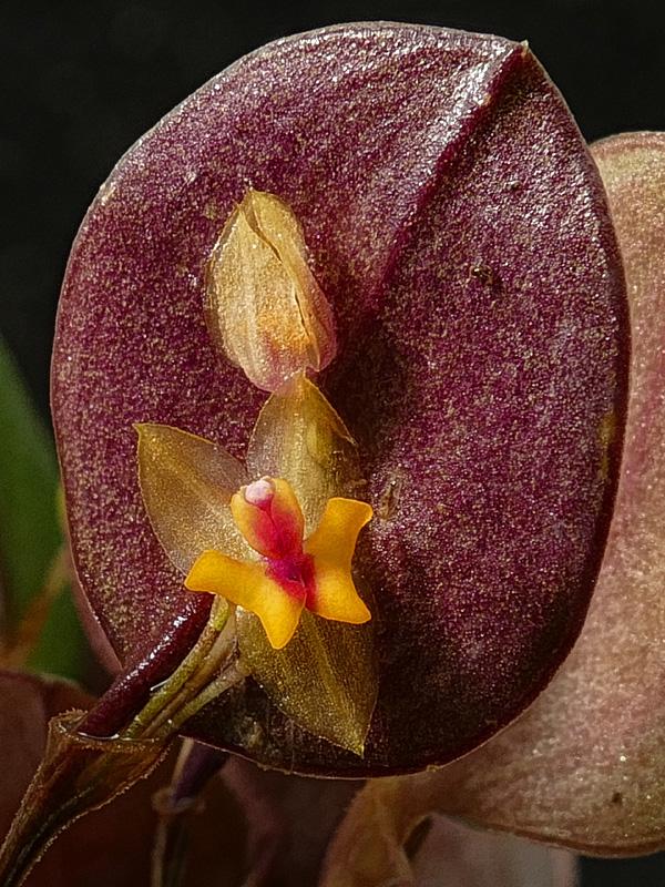 Makroaufnahmen von Miniaturorchideen - Seite 3 Web-le22