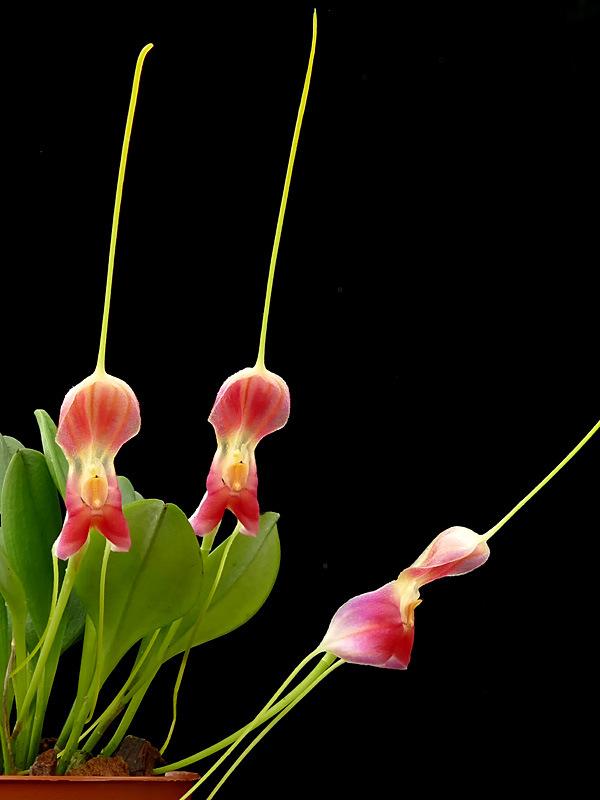 Miniatur-Orchideen Teil 6 - Seite 18 Web-ma14