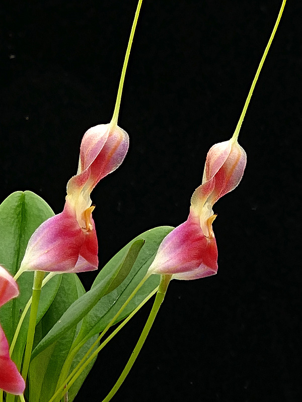 Miniatur-Orchideen Teil 6 - Seite 18 Web-ma15