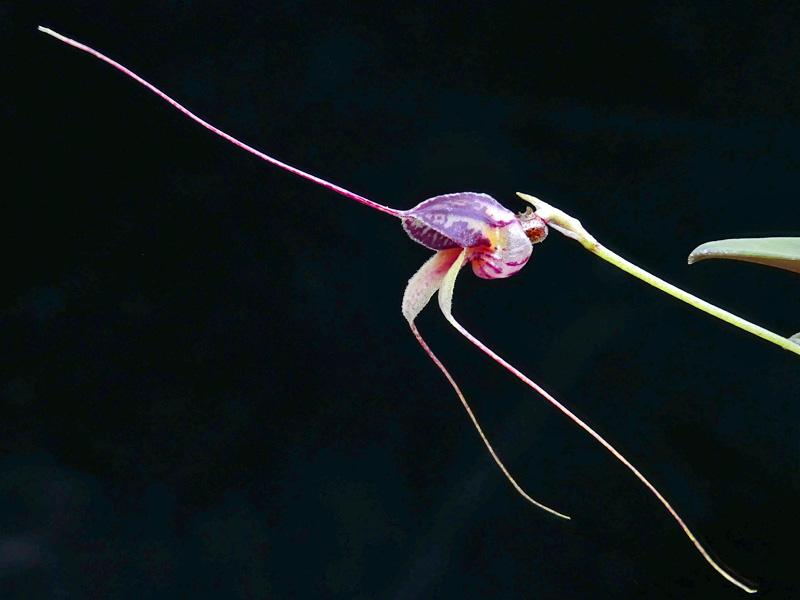 Miniatur-Orchideen Teil 6 - Seite 18 Web-ma16