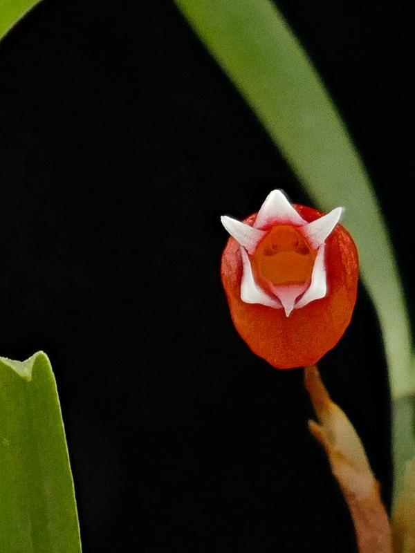 Miniatur-Orchideen Teil 6 - Seite 17 Web-md11