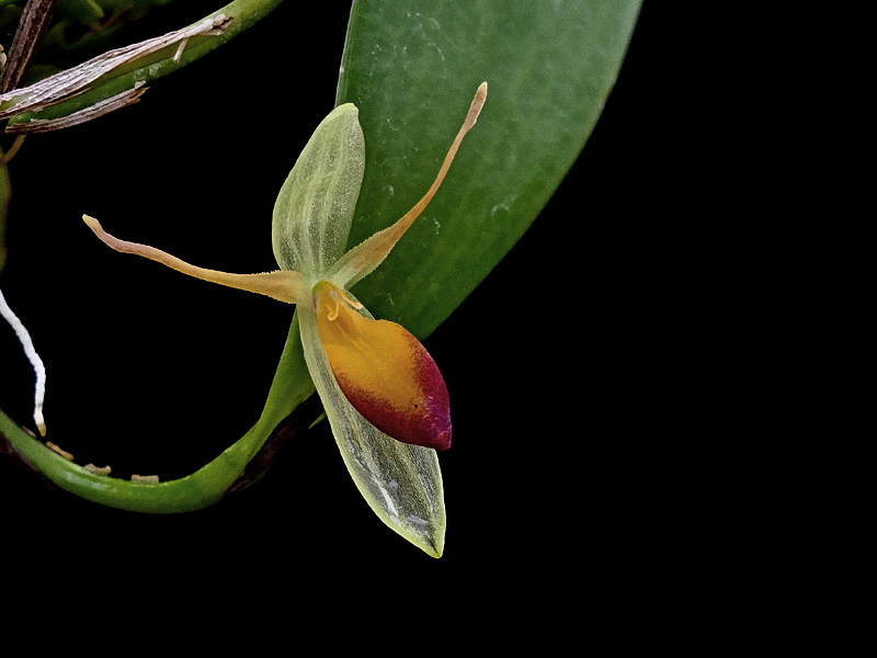 Miniatur-Orchideen Teil 6 - Seite 17 Web-me10