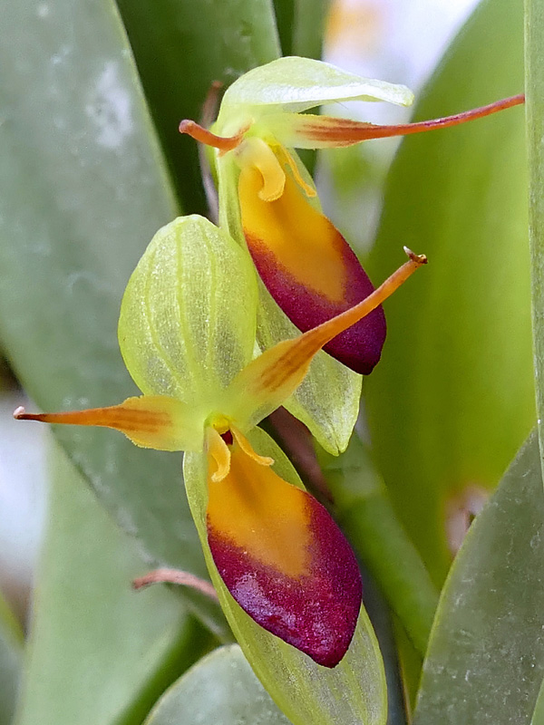 Pleurothallis medinae Web-me11