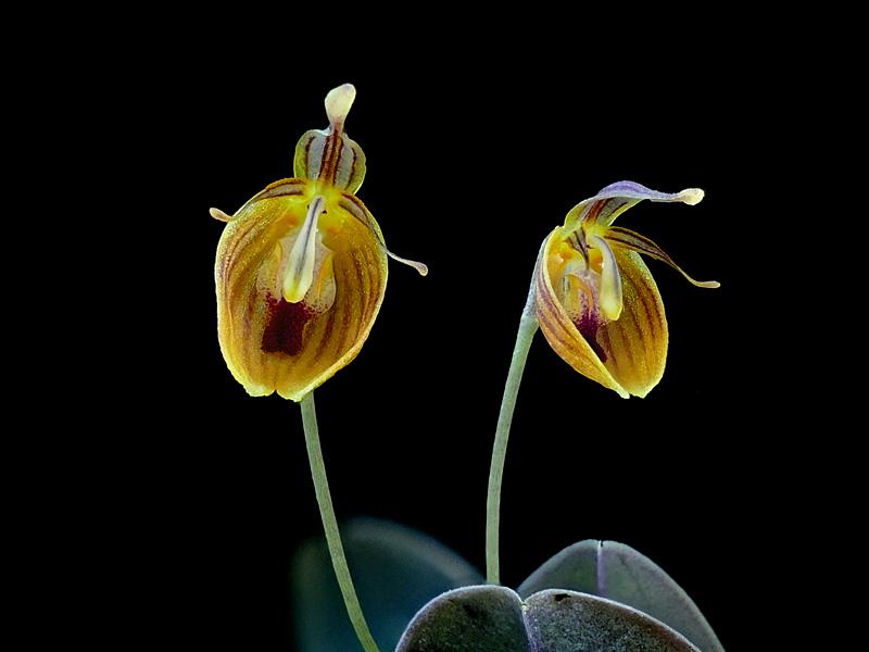 Makroaufnahmen von Miniaturorchideen - Seite 4 Web-ni12