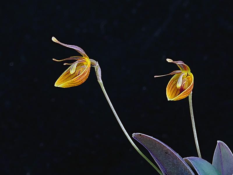 Makroaufnahmen von Miniaturorchideen - Seite 4 Web-ni13