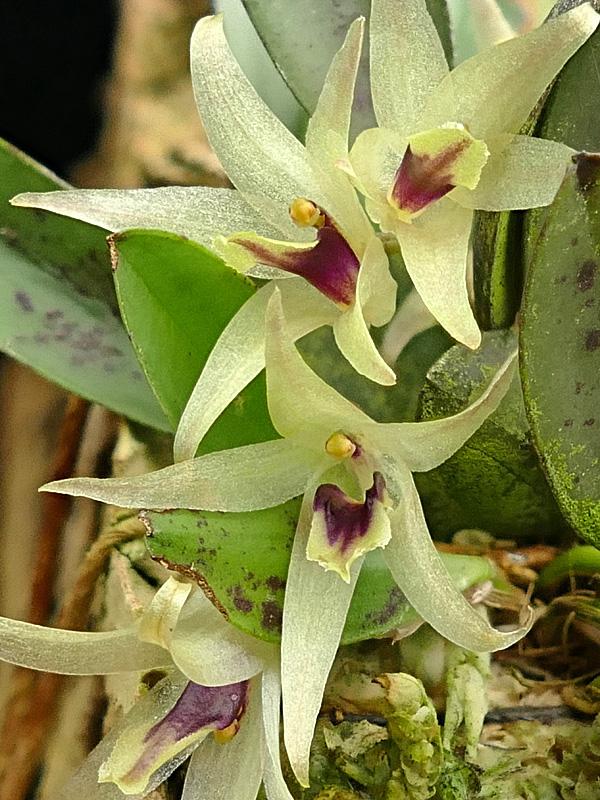 Miniatur-Orchideen Teil 6 - Seite 18 Web-oc11