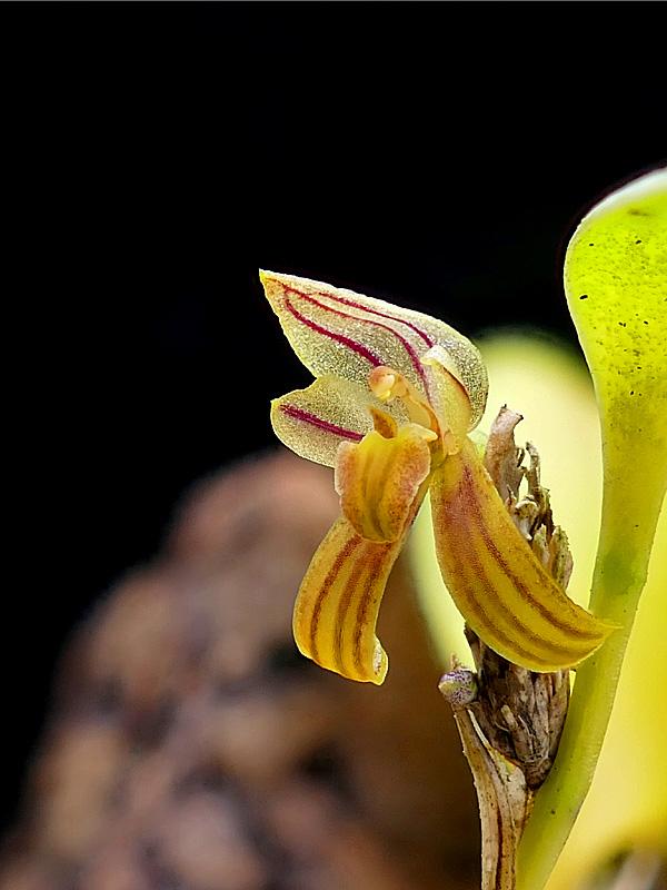Makroaufnahmen von Miniaturorchideen Web-pl11