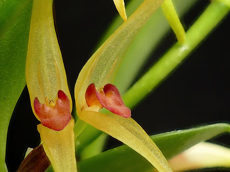 Miniatur-Orchideen Teil 6 - Seite 18 Web-pt10