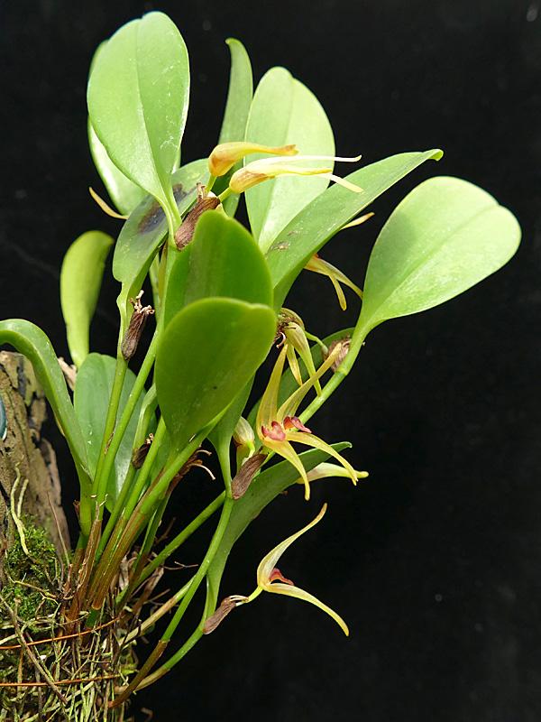 Miniatur-Orchideen Teil 6 - Seite 18 Web-pt11