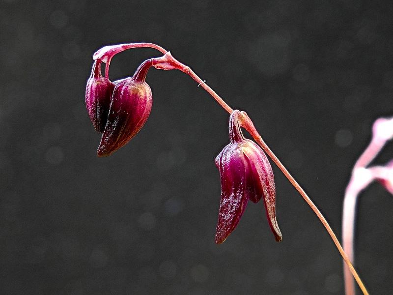 Makroaufnahmen von Miniaturorchideen - Seite 2 Web-pt16