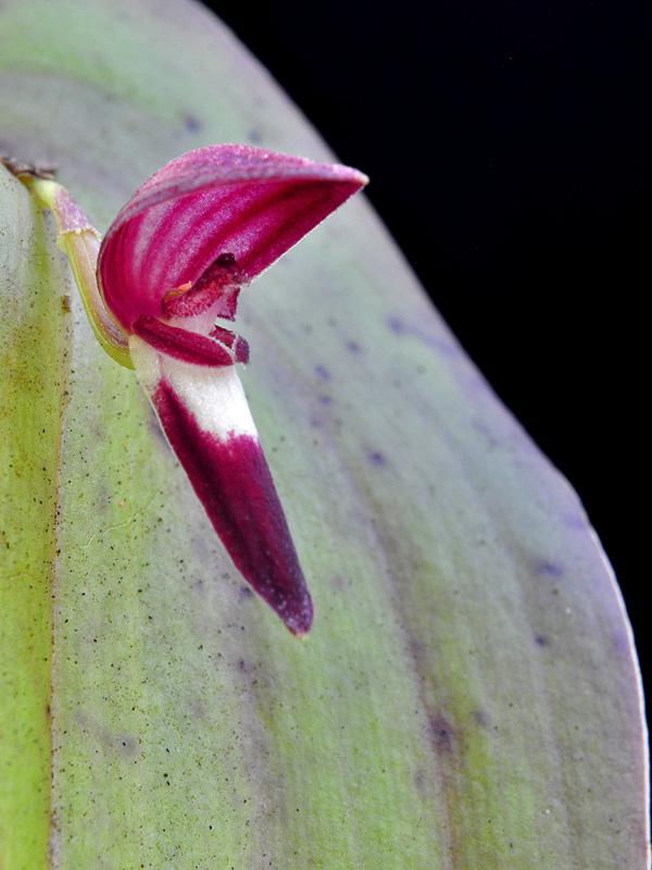Makroaufnahmen von Miniaturorchideen - Seite 4 Web-pt18