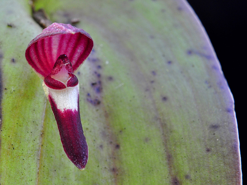 Makroaufnahmen von Miniaturorchideen - Seite 4 Web-pt19