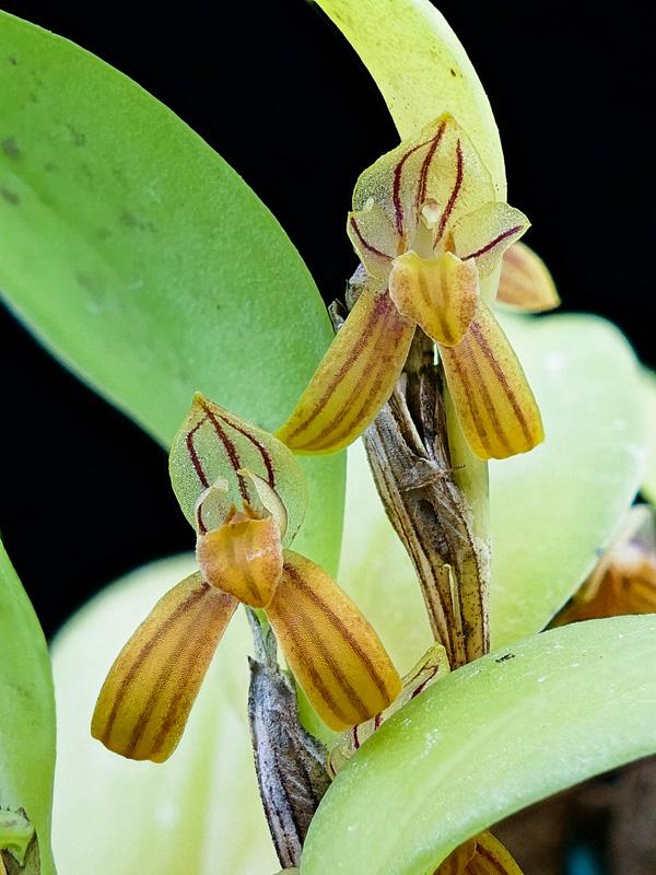 Makroaufnahmen von Miniaturorchideen - Seite 2 Web-re10