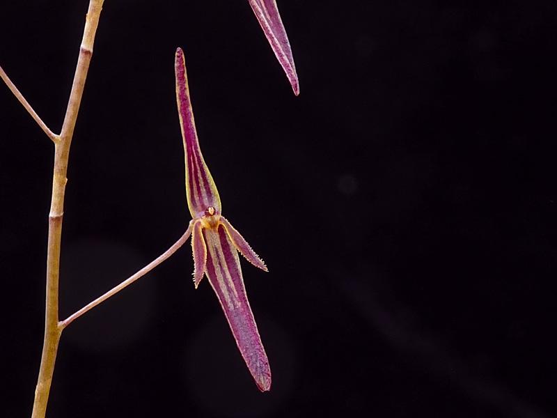 Miniatur-Orchideen Teil 6 - Seite 17 Web-st15