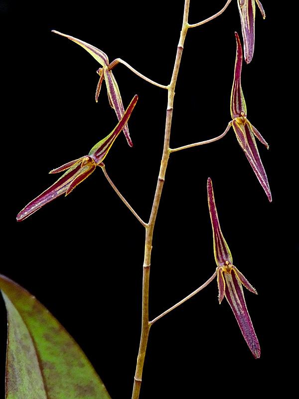 Miniatur-Orchideen Teil 6 - Seite 17 Web-st16