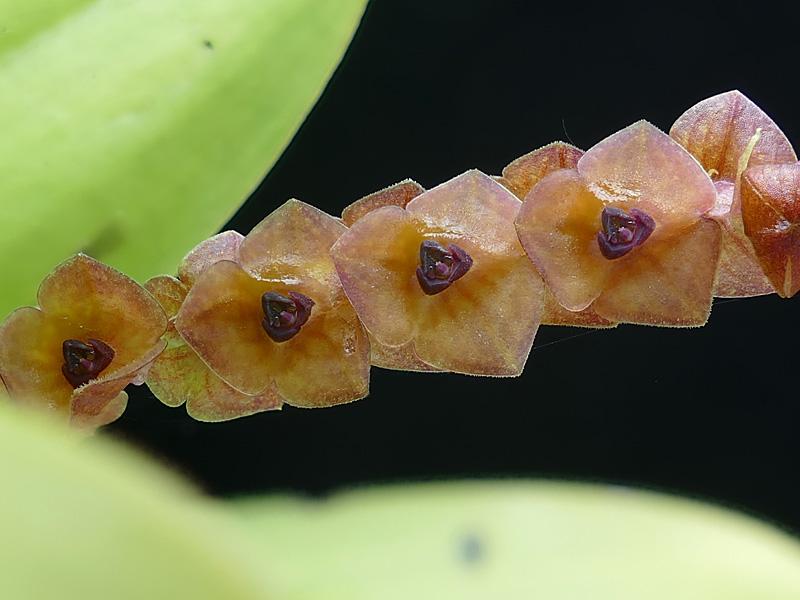 Makroaufnahmen von Miniaturorchideen - Seite 2 Web-st19