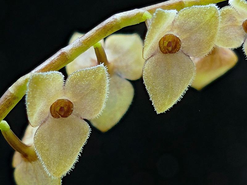 Makroaufnahmen von Miniaturorchideen - Seite 2 Web-st20