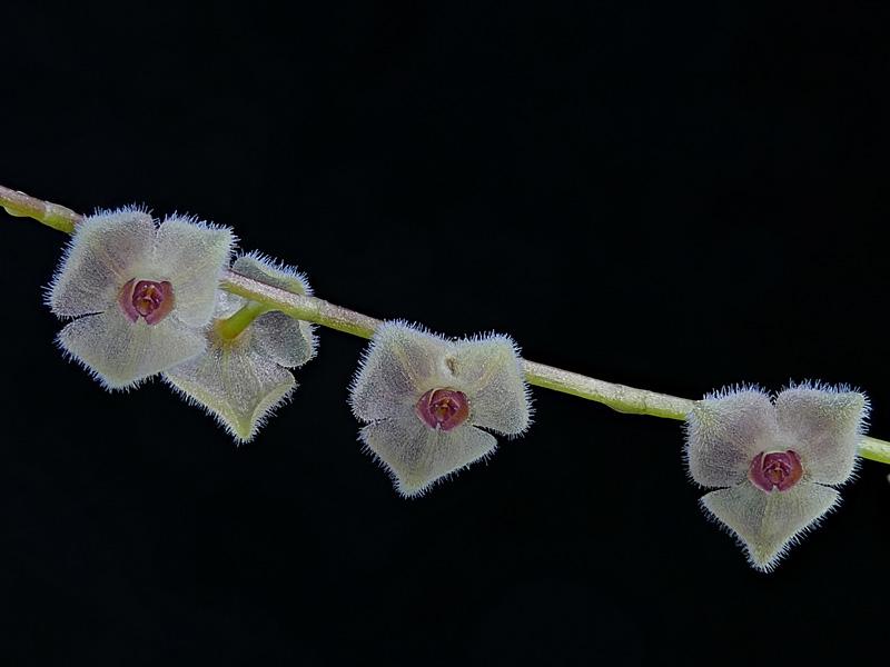 Makroaufnahmen von Miniaturorchideen - Seite 4 Web-st21