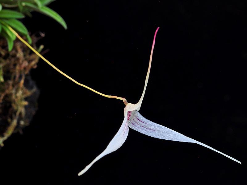 Makroaufnahmen von Miniaturorchideen - Seite 4 Web-t-11