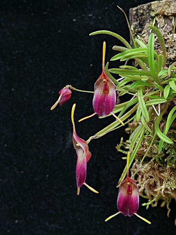 Makroaufnahmen von Miniaturorchideen - Seite 2 Web-tr15