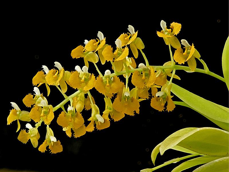 Makroaufnahmen von Miniaturorchideen - Seite 3 Web-zy12