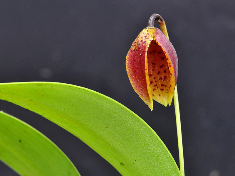 Miniatur-Orchideen Teil 6 Web_lu11